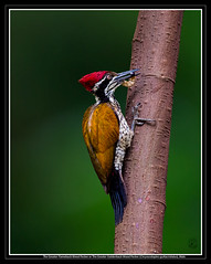 The Greater Flameback Woodpecker