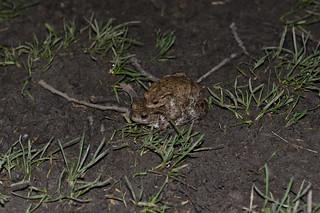 MG 7866 Nightlife of Toads