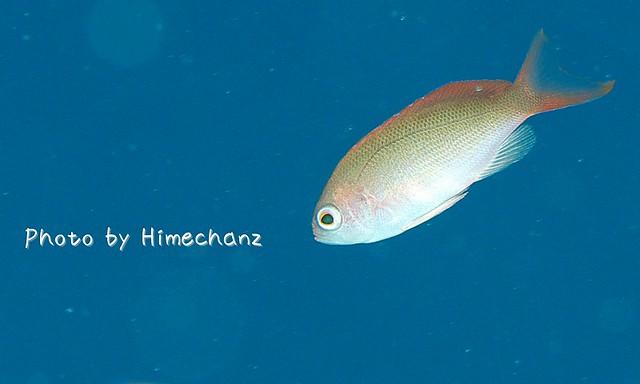 カシワハナダイ幼魚。なんか最近よく見るなぁ