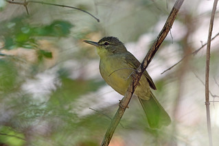 Long-billed Bernieria, Zombitse, Madagascar