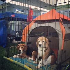 The beagles in their new agility collars testing out the puppy's new TALL x-pen... They look thrilled.