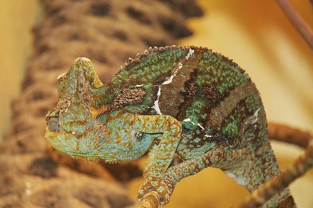 National Zoo ~ Veiled Chameleon - HBW!