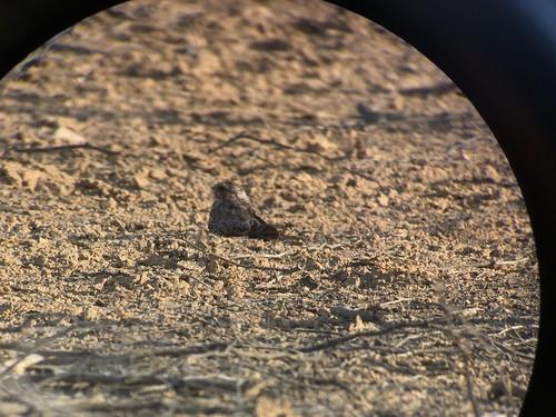 peru southamerica birding pauraque bosquedepomac williamcullen nyctidromusanthonyi