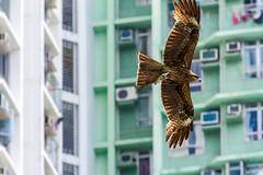 """""""城市獵人: 麻鷹(黑鳶) Urban Hunter: Black Kite (Milvus migrans)"""" / 自然 Nature / SML.20130509.7D.41656"""
