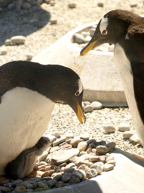 Gentoo Penguin Family, Edinburgh Zoo, 4 Jun 13
