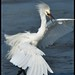 "Dance Like nobody's watching... Snowy Egret ~ Explored by Christine Fusco ~ ""Jersey Strong"""