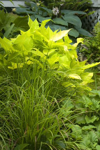 Persicaria Golden Arrow and Panicum