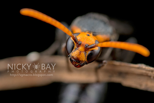 Scoliid Wasp (Scoliidae) - DSC_6614
