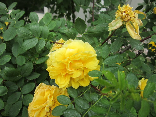 Roses in a dry summer by Anna Amnell