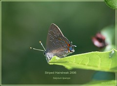 Striped Hairstreak Roxborough State Park Colorado Butterfly photography by Ron Birrell; DSC_2896