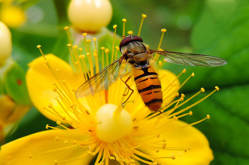Marmelade Hoverfly ♂