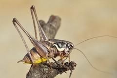Pholidoptera femorata male