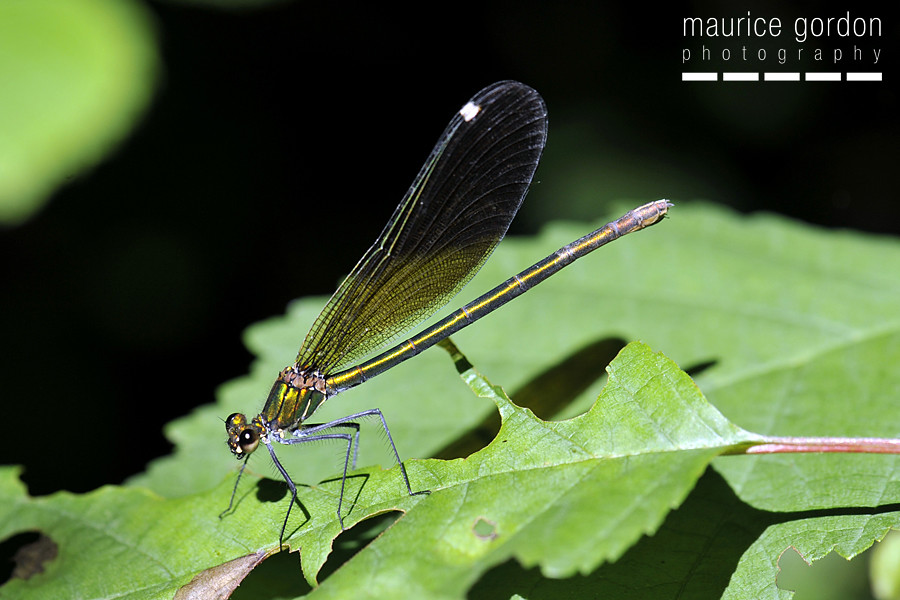 Beautiful Demoiselle ceret_DSC4309