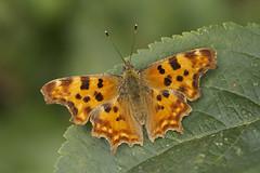 Butterflies - Britain & Europe