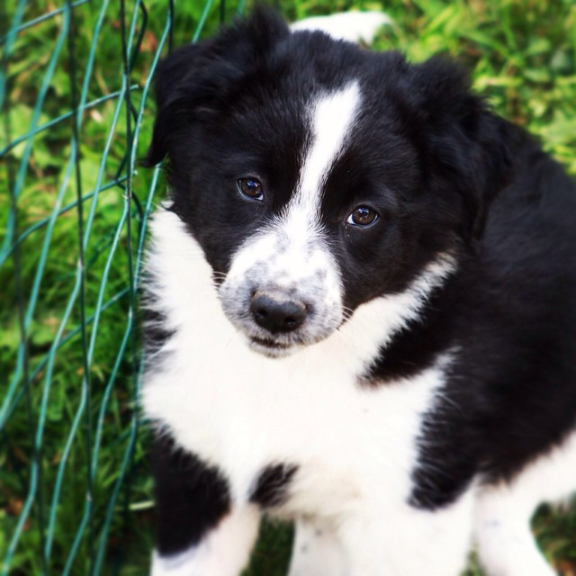 Baby Border collie | Flickr - Photo - 127.4KB