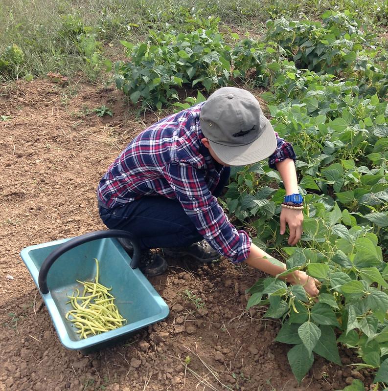 Harvesting haricots.