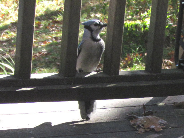 Blue Jay with peanuts5 10:15:13