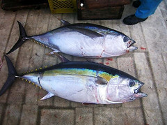 animal, tuna, fish, yellowtail amberjack, fish, bonito, oily fish,
