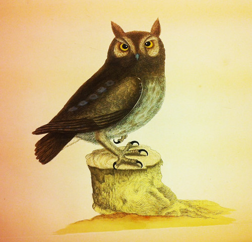 Small Owl illustration from Catesby