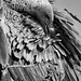 Small photo of White-backed Vulture Preening