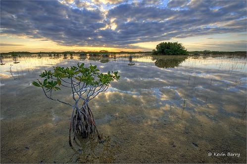 Red Mangroves at sunrise