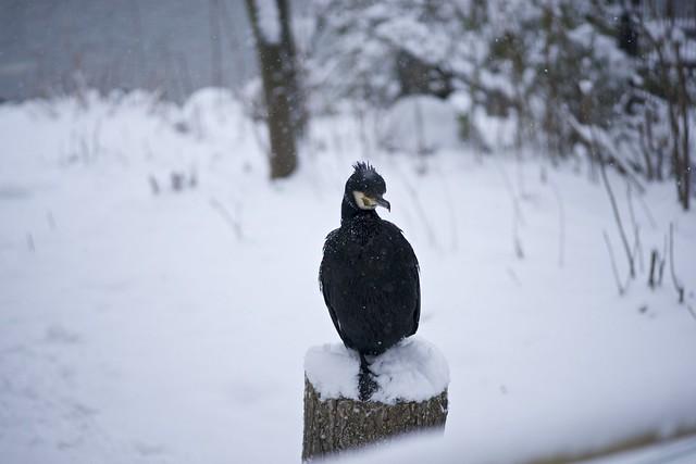 雪に耐えるカワウ