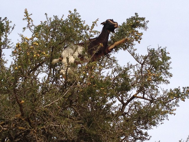 Goats in argon trees in Morocco