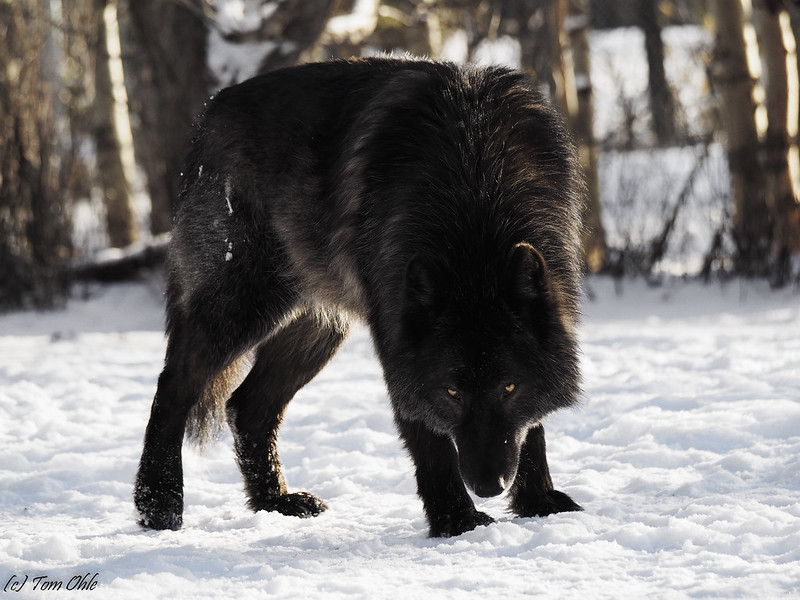 Stare down from black wolf dog