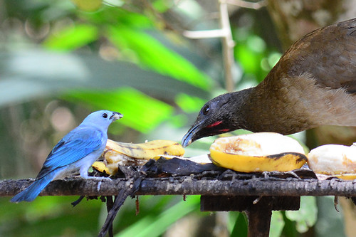 Panama: Feeder Friends