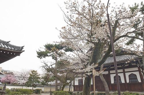 【写真】2014 桜 : 知恩寺/2020-11-13/IMGP5724