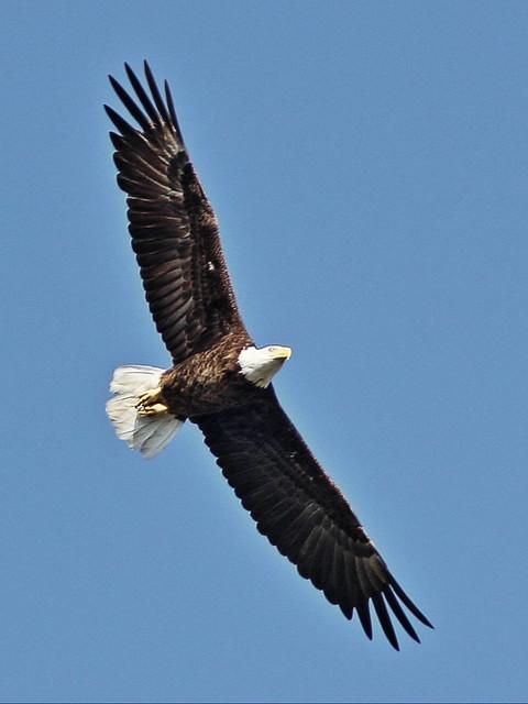 Bald Eagle male in flight 4-20140409