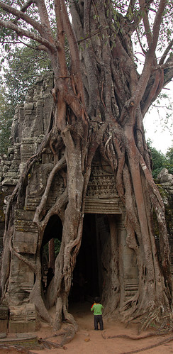 Banyan tree enveloping the ruins at Angkor Wat
