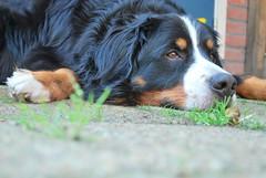 dog breed, animal, dog, greater swiss mountain dog, miniature australian shepherd, entlebucher mountain dog, bernese mountain dog, carnivoran,