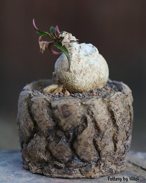 Euphorbia cremersii