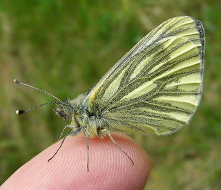 Fuji FinePix S5800-S800.Super Macro.On My Warm Finger,Cold Green-veined White Butterfly.May 12th 2014.