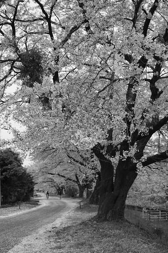 sakura monochrome 2014