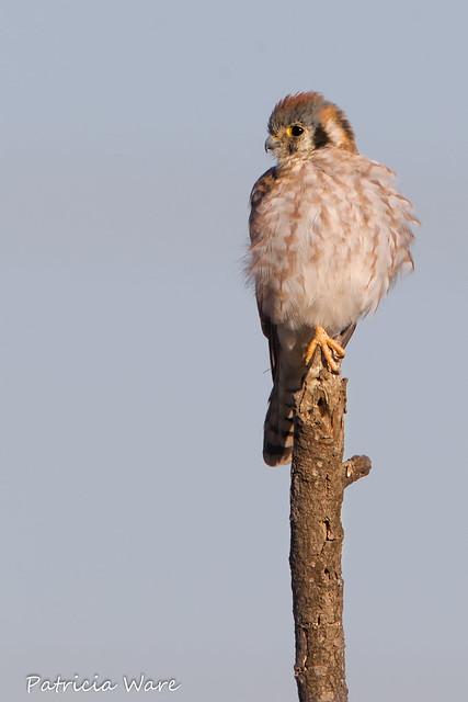 Fluffy Falcon