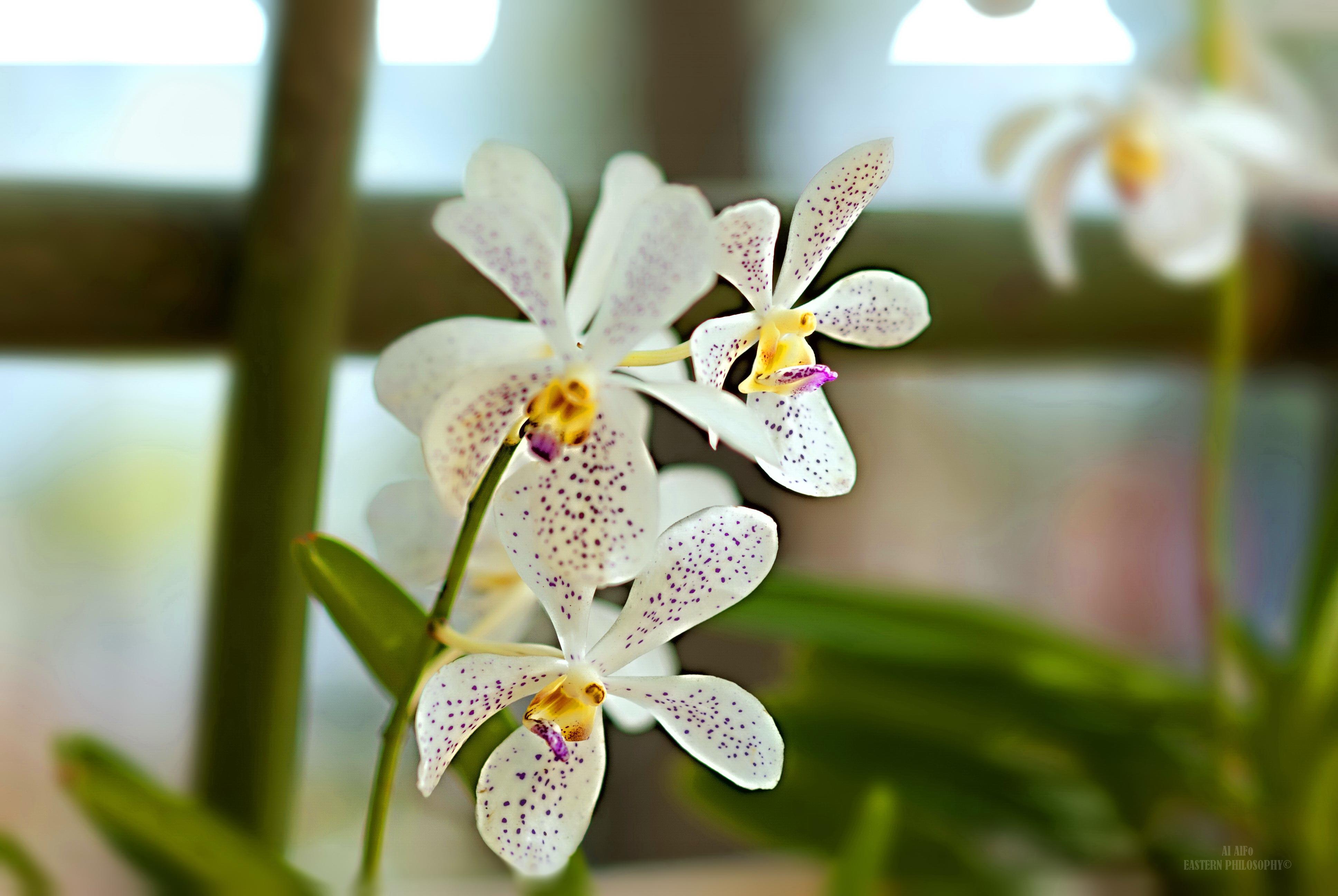 Orchid Chieng Rai