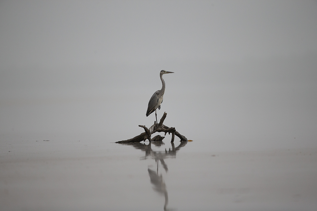 Grey Heron Gambia