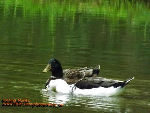 Pato en la laguna