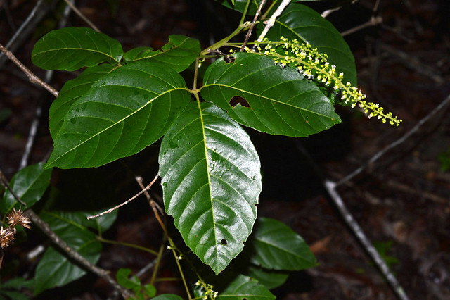 Allophyllus cobbe DSC_0383 (5)
