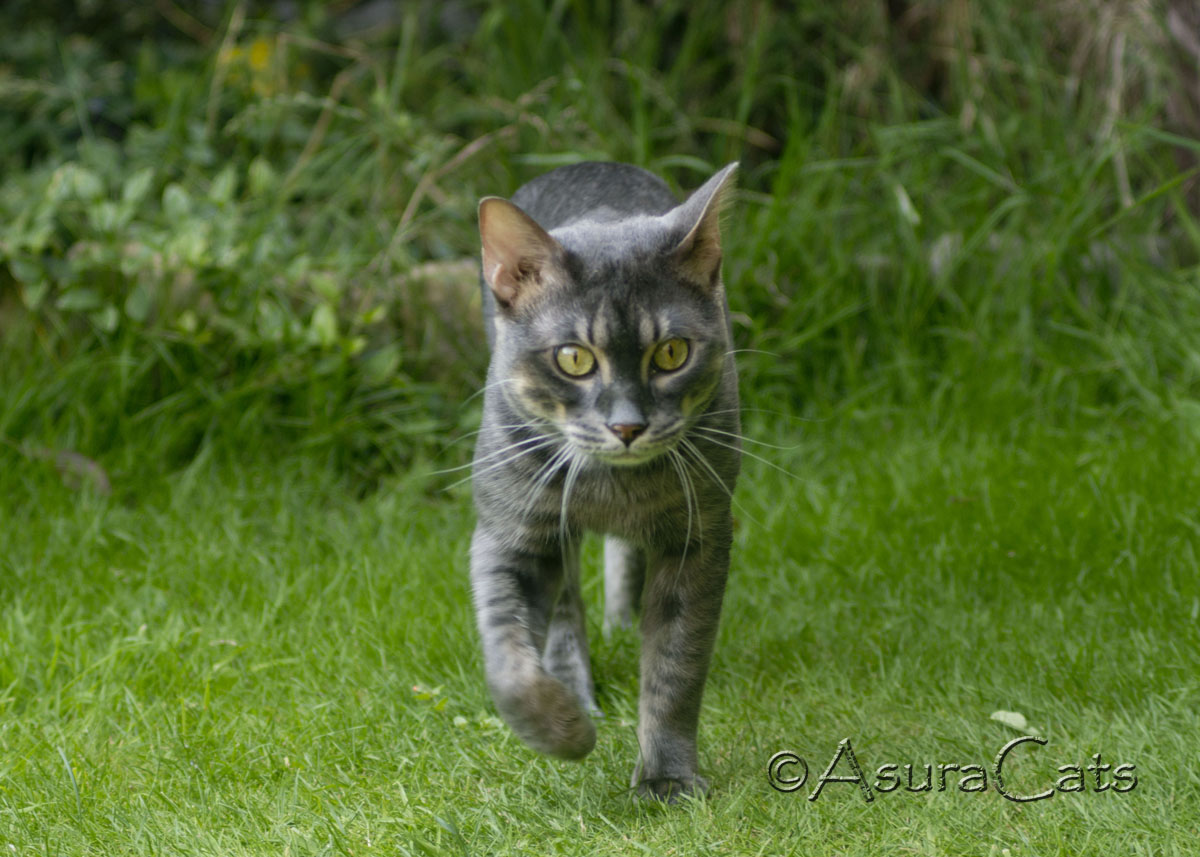 PureBengalsGB Baloo AsuraCats - Blue Charcoal Rosetted Bengal