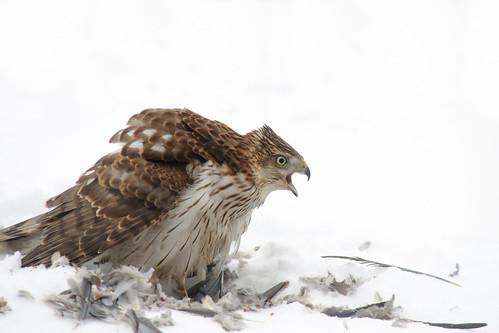 Cooper's Hawk, calling