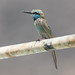 Green Bee-eater at al Fizavah S24A8251