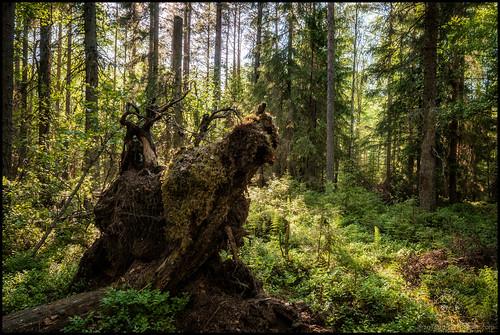 sunshine forest roots skog beings hdr fantacy solsken rötter väsen krombi varelser fanatasi