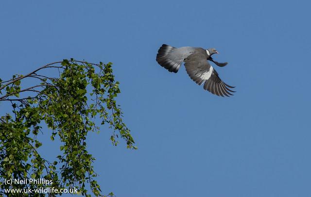 Wood pigeon Columba palumbus-5
