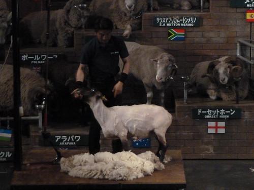 シープショー 羊の毛刈り後