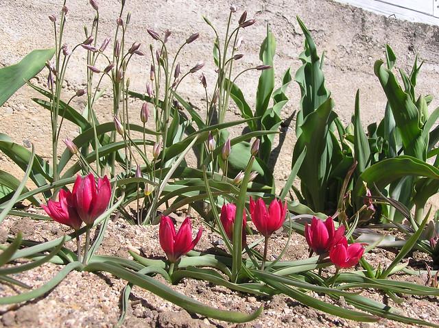 Tulipa humilis 'Lilliput' & Tulipa turkestanica