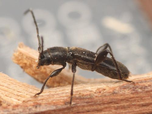 シロオビチビヒラタカミキリ