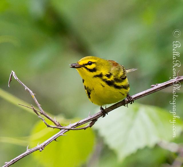 Prairie Warbler | Flickr - Photo Sharing!